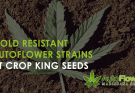 mold resistant autoflower strains