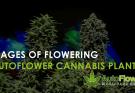 stages of flowering autoflower