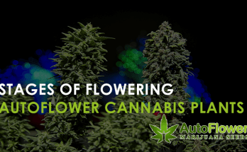 stages of flowering autoflower