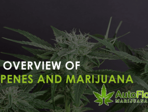 terpenes and marijuana