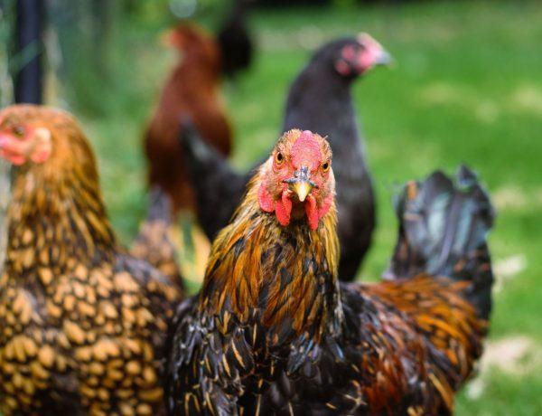 Ein Hühnerleben auf einem Hof, drei Hühner im Vordergrund, zwei unscharf im Hintergrund