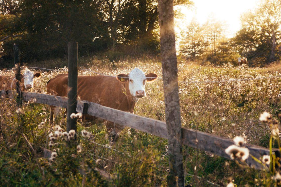 Zwei Bio Kühe stehen eingezäunt inmitten einer Blumenwiese