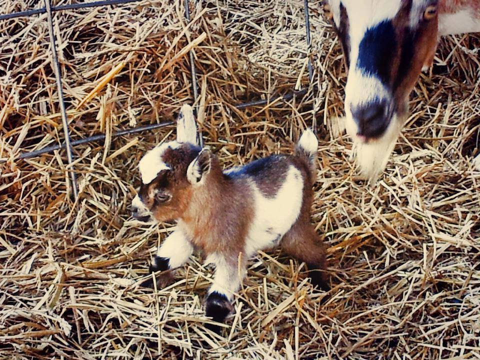 Cute Baby Animal Pictures Wallpapers Sunday Funday Loves Her Trans Daughter And Also Baby Goats