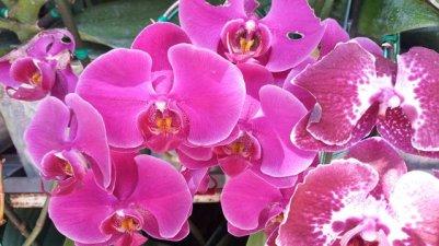Orchidées à Doi Suthep