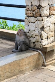 Omer, un habitant du temple d'Uluwatu