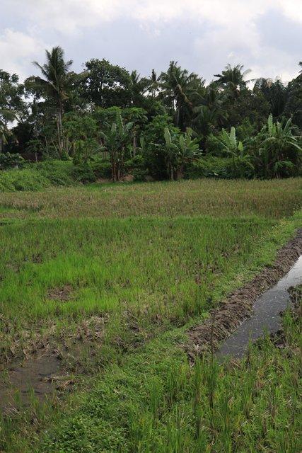 une rizière près de mon hôtel