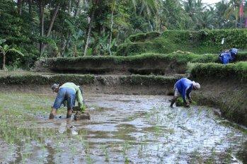 ouvriers agricoles sur le chemin de la randonnée de Keliki à Ubud