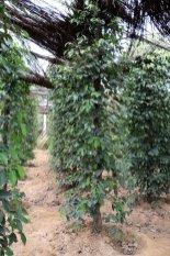Pieds de poivre . Sothy's ferme biologique cultivant le poivre