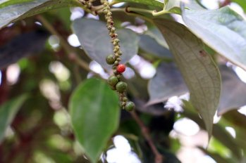 poivre vert puis rouge sur pieds . Sothy's ferme biologique cultivant le poivre