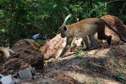 sur le chemin de Dambulla Cave Temple des singes nous guettent - l'autre ailleurs au Sri-Lanka, une autre idée du voyage