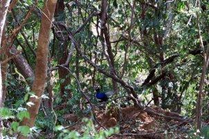 paon dans la réserve de Kadula National Park, mon premier safari photos - l'autre ailleurs au Sri-Lanka, une autre idée du voyage