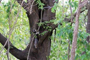 énorme écureuil dans la réserve de Kadula National Park, mon premier safari photos - l'autre ailleurs au Sri-Lanka, une autre idée du voyage