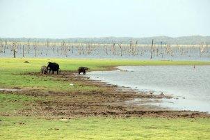 éléphants en liberté dans la réserve de Kadula National Park, mon premier safari photos - l'autre ailleurs au Sri-Lanka, une autre idée du voyage