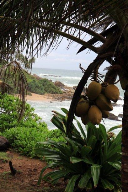 noix de coco sur la plage secrète ,secret beach à Mirissa - l'autre ailleurs au Sri-Lanka, une autre idée du voyage