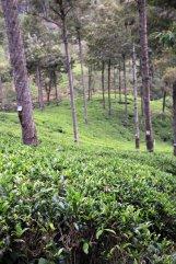 les champs de thé de l'usine de thé Pedro Estate, près de Nuwara Elyia - l'autre ailleurs au Sri-Lanka, une autre idée du voyage
