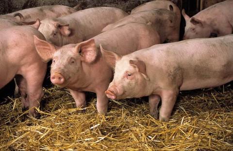 Mangona, Fête du cochon à Laroquebrou