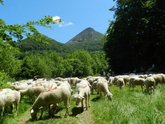 Transhumance 2014 Cantal