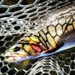 cutthroat trout avalon7 wyoming