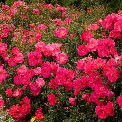 Flower carpet pink supreme groundcover rose lets see carpet new design flower carpet pink supreme lets see new design mightylinksfo