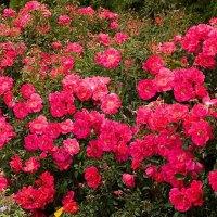 Pink Supreme Carpet Rose - Bing images