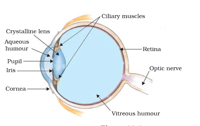 structure of human eye with diagram how to draw deployment in staruml and the colorful world class 10 revision important ques