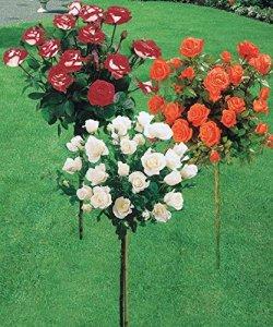 Collection 3 rosiers tige (Ramona, Korbin, Osiria)