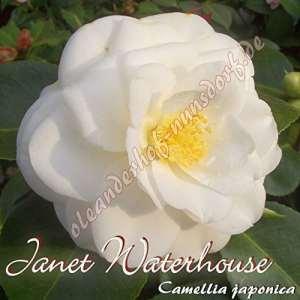 Kamelie 'Janet Waterhouse' – Camellia japonica – 8 bis 10-jährige Pflanze