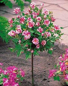 Mini-rosier sur tige 'Armida'