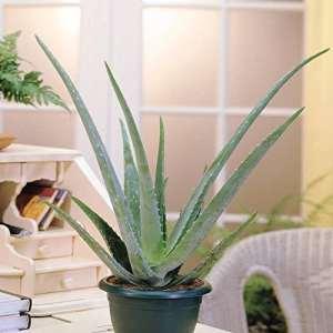 Aloé Véra 10cm – 1 plante
