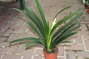 Plante d'intérieur – Plante pour la maison ou le bureau – Clivia miniata – Bonnes plantes d'environ 40cm de hauteur.