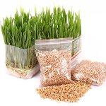 Graines d'herbe de chat de Bornbayb graines d'herbe de blé pour le chat, paquet au-dessus de 800 PCs et 1600 PCs