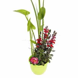 Plantes aquatiques – Mini-étang, pot vert, Pontederia Cordata, Iris Pseudacoris, Eleocharis acicularis, Nymphaea Attraction – Pontederia Cordata, Iris Pseudacoris, Eleocharis acicularis, Nymphaea Attraction