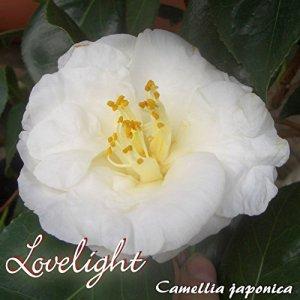 Kamelie 'Lovelight' – Camellia japonica – 8 bis 10-jährige Pflanze