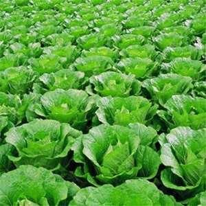 Pak Choi Bok Choy chinois Chou Graines saines Bio Graines de légumes pour Home Garden, High Yield facile à cultiver 100graines