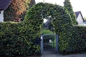Hêtre Commun – Haie d'hêtre avec une hauter de 80-100 centimètre – grandit dans un pot de fleurs – plantes en remise – Fagus sylvatica floranza® (600)