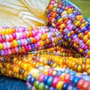 Rosepoem Graines de maïs indien 30 pcs Graines de maïs Graine de maïs arc-en-ciel