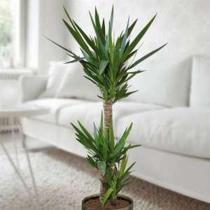 Standard Yucca Palmenkaufen. de 130cm–1Plante