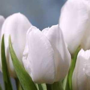 Humphreys Garden Tulips Tulipe White Dream x 30 Bulbes Bulbs