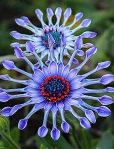 Murieo 10/20/ 50 Pcs Adorable Flower Graines Parfumées Fleurs Africaines Graines de Marguerite (10 Pcs)