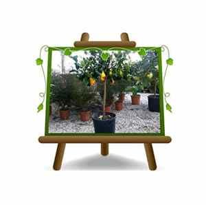 Citron Citron – Citrus Limon – Sapling – Plante fruitière sur pot 36 – Arbre max 160 cm