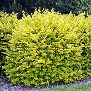 Ligustrum ovalifolium Aureum – 1 plante de haie