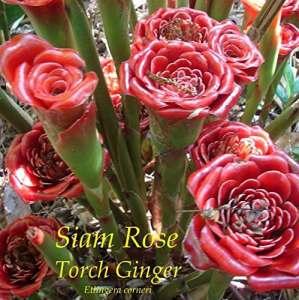 Siam Rose ~ Etlingera corneri TORCH GINGER 100 graines spéciales RARE Collector