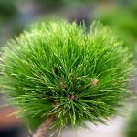 Pin Noir»Nain» – Pinus Nigra»Brepo» – Art-Garden