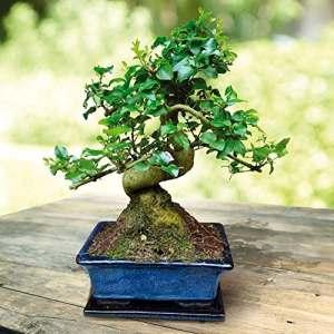 Bonsaï Ligustrum 7 ans – 1 arbre