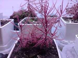 Drosera Hartmeyerorum ~ Très rare Plante Carnivore Sundew ~ 5 graines ~ limitée