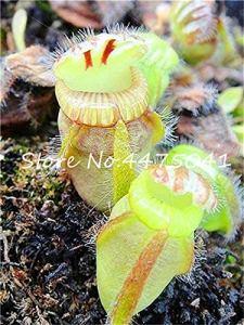 Pinkdose 150 Pcs Bonsaï Insectivores En Pot Rare Bleu Dionaea Muscipula Carnivore Clip Géant Vénus Flytrap Plante Bricolage Maison Jardin: 1
