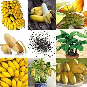 ZEARO 50 pcs Graines de Mini Bananier Nain Arbre Rare de Mini Banane Mini Plantes Exotiques de Jardin Graines de Fruit Bonsaï