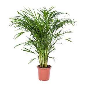 Choice of Green – 1 palmier Areca Dypsis, autrement dit palmier doré – Plante d'intérieur dans le pot de cultivateur Pot 21 cm – Hauteur ↕ 100 cm – Qualité hollandaise – Frais du cultivateur