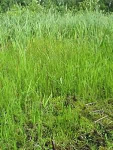 Graines/Packet 150 Carex echinata sanicle STAR SEDGE