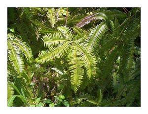 Shop Meeko Dicranopteris dichotoma – Fern – 100 graines